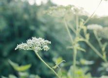Κλείστε επάνω τον άσπρο τομέα λουλουδιών στοκ φωτογραφία