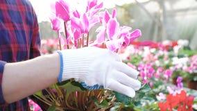 Κλείστε επάνω τον κηπουρό που εξετάζει flowerpot στο gardenhouse 4K φιλμ μικρού μήκους