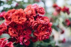 Κλείστε επάνω τους κόκκινους θάμνους τριαντάφυλλων με πολλά λουλούδια Στην πόλη κατά τη διάρκεια του καλοκαιριού Στοκ Φωτογραφίες