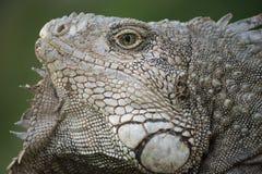 Κλείστε επάνω του άγριου προσώπου σαυρών iguana στοκ εικόνα