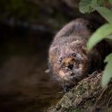 Κλείστε επάνω του άγριου vole νερού περπατήματος Στοκ Εικόνες