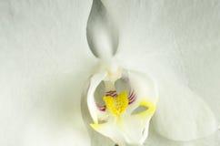 Κλείστε επάνω του άσπρου άνθους ορχιδεών με τον κίτρινο και πορφυρό λαιμό μακρο φύση λουλουδιών σύνθεσης Στοκ φωτογραφία με δικαίωμα ελεύθερης χρήσης