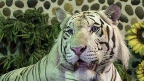 Κλείστε επάνω του άσπρου κεφαλιού τιγρών Στοκ Εικόνα