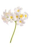 Κλείστε επάνω του άσπρου plumeria στο άσπρο υπόβαθρο Στοκ φωτογραφία με δικαίωμα ελεύθερης χρήσης