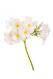 Κλείστε επάνω του άσπρου plumeria στο άσπρο υπόβαθρο Στοκ Εικόνα