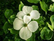 Κλείστε επάνω του ανθίζοντας άσπρου λουλουδιού dogwood την άνοιξη με το πράσινο β Στοκ φωτογραφίες με δικαίωμα ελεύθερης χρήσης