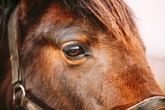 Κλείστε επάνω του αραβικού αλόγου κόλπων Στοκ εικόνες με δικαίωμα ελεύθερης χρήσης