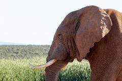Κλείστε επάνω του αφρικανικού ελέφαντα του Μπους Στοκ Εικόνες