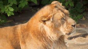 Κλείστε επάνω του βασιλιά λιονταριών των κτηνών που χαλαρώνει μετά από το γεύμα στους βράχους στο εθνικό πάρκο που γρατσουνίζει τ απόθεμα βίντεο