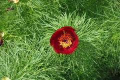 Κλείστε επάνω του ενιαίου κόκκινου λουλουδιού του tenuifolia Paeonia άνωθεν Στοκ Εικόνες