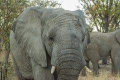 Κλείστε επάνω του θηλυκού ελέφαντα περπατώντας προς τη κάμερα Στοκ εικόνες με δικαίωμα ελεύθερης χρήσης