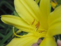 Κλείστε επάνω του κίτρινου κρίνου ημέρας Στοκ φωτογραφία με δικαίωμα ελεύθερης χρήσης