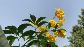 Κλείστε επάνω του κίτρινου λουλουδιού, κίτρινος παλαιότερος απόθεμα βίντεο
