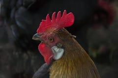 Κλείστε επάνω του κεφαλιού του χρυσού κόκκορα που στέκεται παραδοσιακό αγροτικό barnyard το πρωί Πορτρέτο του ζωηρόχρωμου με μακρ στοκ φωτογραφία