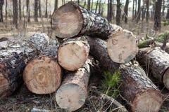 Κλείστε επάνω του κομμένου πεύκου συνδέεται το δάσος Στοκ Εικόνα