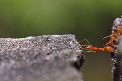 Κλείστε επάνω του κόκκινου μυρμηγκιού στη φύση στοκ εικόνα με δικαίωμα ελεύθερης χρήσης