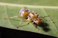 Κλείστε επάνω του κόκκινου μυρμηγκιού στη φύση Στοκ φωτογραφία με δικαίωμα ελεύθερης χρήσης