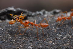 Κλείστε επάνω του κόκκινου μυρμηγκιού στη φύση Στοκ Εικόνες