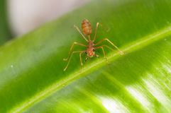 Κλείστε επάνω του κόκκινου μυρμηγκιού υφαντών με ευρέως ανοικτό Στοκ φωτογραφία με δικαίωμα ελεύθερης χρήσης