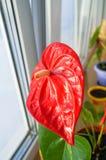 Κλείστε επάνω του κόκκινου anthurium λουλουδιού Στοκ Εικόνες