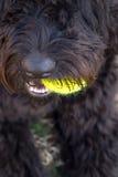 Κλείστε επάνω του μαύρου σκυλιού κρατώντας την κίτρινη σφαίρα αντισφαίρισης στο στόμα στοκ φωτογραφία
