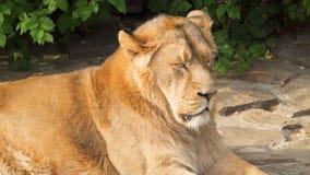 Κλείστε επάνω του μεγάλου γούνινου κουρασμένου αρσενικού βασιλιά λιονταριών των κτηνών μετά από το γεύμα στους βράχους στο εθνικό απόθεμα βίντεο