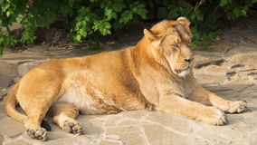 Κλείστε επάνω του μεγάλου γούνινου κουρασμένου αρσενικού βασιλιά λιονταριών των κτηνών μετά από το γεύμα στους βράχους στο εθνικό φιλμ μικρού μήκους