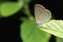 Κλείστε επάνω του μικρού μπλε χλόης πεταλούδων μικροσκοπικού που σκαρφαλώνει στο φύλλο Στοκ φωτογραφία με δικαίωμα ελεύθερης χρήσης