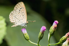Κλείστε επάνω του μικρού μπλε χλόης πεταλούδων μικροσκοπικού που σκαρφαλώνει σε μικροσκοπική GR Στοκ εικόνες με δικαίωμα ελεύθερης χρήσης