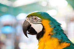 κλείστε επάνω του μπλε-και-κίτρινου macaw (ararauna Ara) Στοκ εικόνα με δικαίωμα ελεύθερης χρήσης