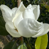 Κλείστε επάνω του λουλουδιού Καλιφόρνιας Magnolia Στοκ εικόνες με δικαίωμα ελεύθερης χρήσης