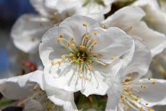 Κλείστε επάνω του λουλουδιού κερασιών του vignola, Μοντένα Στοκ Φωτογραφίες