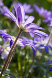 Κλείστε επάνω του λουλουδιού anemone στο πίσω φως Στοκ Φωτογραφίες
