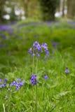 Κλείστε επάνω του λουλουδιού Bluebell στο πολύβλαστο πράσινο δάσος στην Ιρλανδία Στοκ Φωτογραφία