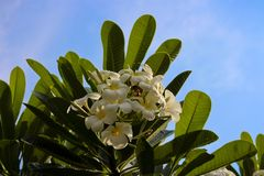 Κλείστε επάνω του λουλουδιού plumeria στο μπλε ουρανό Στοκ εικόνες με δικαίωμα ελεύθερης χρήσης