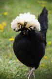 Κλείστε επάνω του περπατήματος του άσπρου λοφιοφόρου μαύρου πολωνικού κοτόπουλου Στοκ Εικόνα