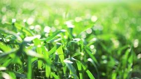Κλείστε επάνω του πράσινου σίτου άνοιξη που κινείται με τον αέρα την ηλιόλουστη ημέρα 4k φιλμ μικρού μήκους