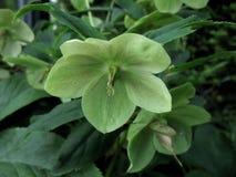Κλείστε επάνω του πρασινωπού κίτρινου λουλουδιού Στοκ φωτογραφία με δικαίωμα ελεύθερης χρήσης