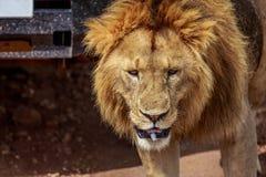 Κλείστε επάνω του προσώπου λιονταριών Στοκ Εικόνα