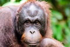 Κλείστε επάνω του προσώπου Orangutan Στοκ Εικόνες