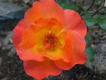 Κλείστε επάνω του ροζ και το πορτοκάλι αυξήθηκε ανθίζοντας Στοκ εικόνες με δικαίωμα ελεύθερης χρήσης