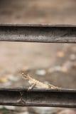 Κλείστε επάνω του ταϊλανδικού χαμαιλέοντα στον κλάδο Στοκ εικόνα με δικαίωμα ελεύθερης χρήσης