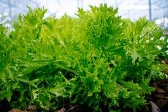 Κλείστε επάνω του φρέσκου πράσινου λαχανικού σαλάτας μαρουλιού στον κήπο Στοκ εικόνες με δικαίωμα ελεύθερης χρήσης