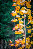 Κλείστε επάνω του φωτός λάμποντας μέσω των κίτρινων κόκκινων φύλλων Στοκ εικόνα με δικαίωμα ελεύθερης χρήσης
