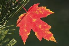 Κλείστε επάνω του φύλλου σφενδάμου Στοκ Εικόνες