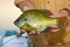 Κλείστε επάνω του ψαρά που κρατά ένα Bluegill παν ψάρι Στοκ Εικόνα