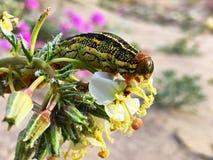 Κλείστε επάνω του Caterpillar τρώγοντας μια έρημο wildflower στοκ φωτογραφία