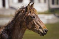 Κλείστε επάνω το άγριο άλογο Στοκ Φωτογραφίες