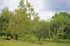 Κλείστε επάνω το δέντρο μηλιάς που καλύπτεται με τα ώριμα μήλα Στοκ φωτογραφίες με δικαίωμα ελεύθερης χρήσης