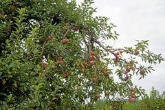 Κλείστε επάνω το δέντρο μηλιάς που καλύπτεται με τα ώριμα μήλα Στοκ Φωτογραφία